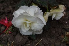 Beautiful flowers of white terry begonia growing in the city garden royalty free stock image