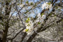 Beautiful flowers of wild plum blossoms. Selective focus on few beautiful flowers of wild plum blossomed in wonderful sunny, warm spring day, blurred defocused stock images