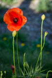 Beautiful flowers of the wild poppy Royalty Free Stock Images