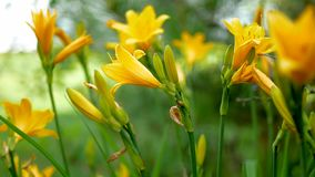 Beautiful Flowers Are Yellow Lilies. Amazing yellow Lily flowers during blossom in summer stock video