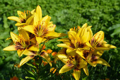 Beautiful flowers yellow lilies are blooming in the flowerbed in the garden Stock Photo