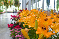Beautiful flowers of yellow lilies. Stock Photo