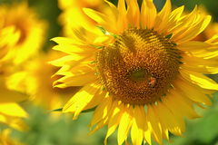 Beautiful flowers yellow sunflowers in summer. Royalty Free Stock Image