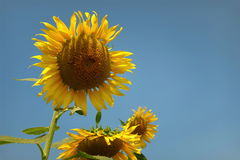 Beautiful flowers yellow sunflowers in summer. Stock Photography