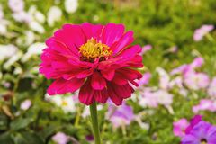 Beautiful flowers zinnias Royalty Free Stock Photos
