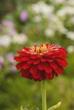 Beautiful flowers zinnias Stock Photography