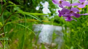 Beautiful Flowing River With Pretty Purple Flowers in the Foreground in Summer.  Viewpoint of Violet Flower lining a River Shore stock footage