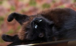 Beautiful fluffy black cat is lying on a glass table royalty free stock photos