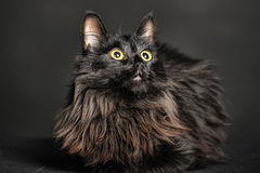 Beautiful fluffy black cat Royalty Free Stock Photo