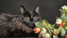 Beautiful fluffy black cat Stock Images