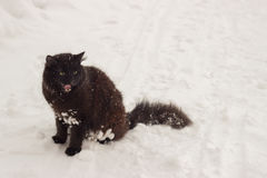 Beautiful fluffy black cat with yellow eyes on white snow winter Stock Photo