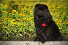 Beautiful fluffy black dog breed Chow Chow sits in the summer on Royalty Free Stock Photography