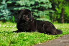 Beautiful fluffy black dog Chow lying in the summer on the natur Royalty Free Stock Image