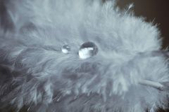 Beautiful fluffy blue feather with shiny water droplets. Abstract background and texture. Close up macro. Light blue feather. Beautiful fluffy blue feather with royalty free stock image