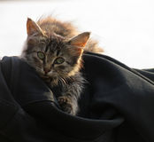 Beautiful fluffy brindle kitten with green eyes. Royalty Free Stock Images