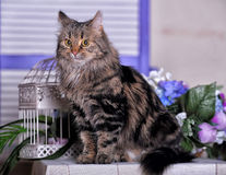 Beautiful fluffy brown cat Stock Image