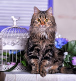Beautiful fluffy brown cat Stock Photography