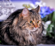 Beautiful fluffy brown cat Royalty Free Stock Photos