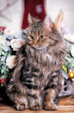 Beautiful fluffy brown striped cat Stock Photography