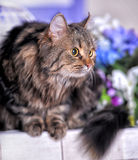 Beautiful fluffy brown striped cat Royalty Free Stock Photography