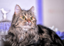 Beautiful fluffy brown striped cat Royalty Free Stock Image