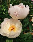 Delicate Pink Peony Flowers in Full Bloom royalty free stock photos