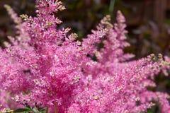 Beautiful fluffy bush of pink astilba in garden Stock Photos