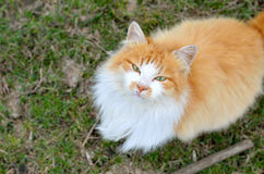 Beautiful fluffy cat, close-up photo. Royalty Free Stock Images