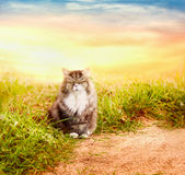 Beautiful fluffy cat in  grass on nature over sunset sky Royalty Free Stock Photography
