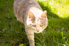 Fluffy cat. Beautiful fluffy cat on green grass closeup Royalty Free Stock Images