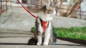Beautiful fluffy cat on a leash sitting outside in Sunny weather. Walking Pets. Slow motion