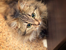 Beautiful fluffy cat looking up Stock Images