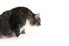 Beautiful fluffy cat looks at something on the floor. Royalty Free Stock Photo