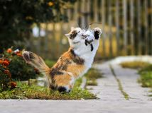 Beautiful fluffy cat playing with a caught mouse running around. And tossing her Stock Images