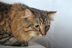 beautiful fluffy cat Stock Images