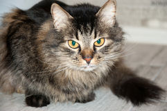 Beautiful fluffy cat Royalty Free Stock Images
