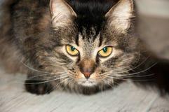 Beautiful fluffy cat Royalty Free Stock Photo