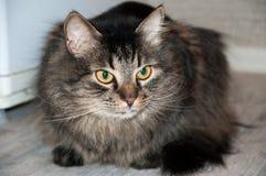 Beautiful fluffy cat Stock Image