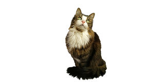 Beautiful fluffy cat stares upward in anticipation of a delicious meal. On white background Stock Photography