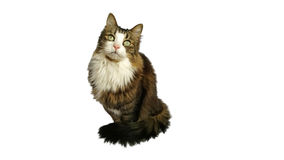 Beautiful fluffy cat stares upward in anticipation of a delicious meal. On white background Royalty Free Stock Photography