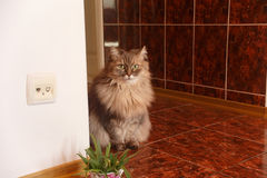 Beautiful fluffy curious longhaired grey angora cat sits at the Royalty Free Stock Photography