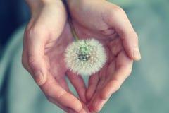 Free Beautiful Fluffy Dandelion Flower In Girl`s Hands Stock Photo - 179986640