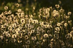 Beautiful fluffy dandelions in the sunset light. Fluffy golden dandelions in the evening light in the countryside Royalty Free Stock Photos