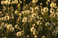 Beautiful fluffy dandelions in the sunset light. Fluffy golden dandelions in the evening light in the countryside Royalty Free Stock Photo