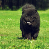 Beautiful fluffy dog breed Chow Chow rare black color runs in th Royalty Free Stock Photography