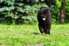 Beautiful fluffy dog breed Chow Chow rare black color runs in th Stock Photos