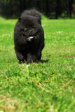 Beautiful fluffy dog breed Chow Chow rare black color runs in th Royalty Free Stock Images