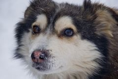 Beautiful, fluffy dog on snowy background Royalty Free Stock Photography