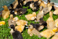 Beautiful fluffy ducklings Stock Photo