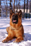 Beautiful fluffy German shepherd dog Junior puppy lying in a winter snowy field. age of nine months Royalty Free Stock Images